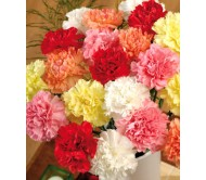 Carnation Mixed Color 0,40g Seeds