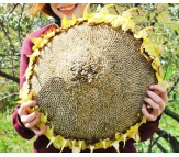 Giant Sunflower (Helianthus annuus) 10 seeds