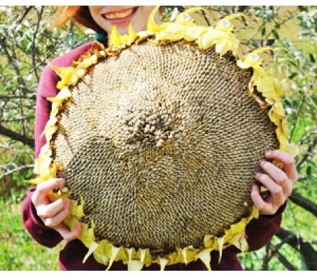 Giant Sunflower (Helianthus annuus) 10 seeds