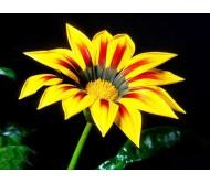 Gazania (Gazania Splendens) Mixed Color Seeds 0,15 gr.