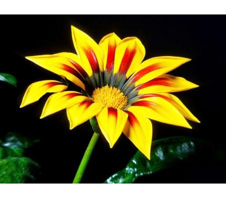 Gazania (Gazania Splendens) Mixed Color Seeds