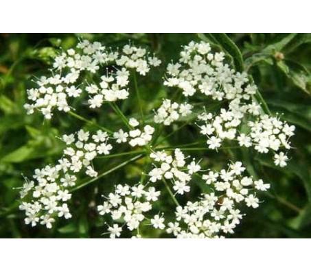 Anice seeds 0,25 gr.