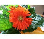 Gerbera Giant Mixed Color Seeds 0,02g