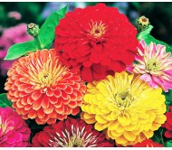 Zinnia Giant California Mixed Color Seeds 0,4g