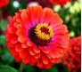 Zinnia Giant California Mixed Color Seeds 0,40g