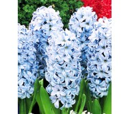 Hyacinthus Deft Blue/Light Blue 3 Bulbs