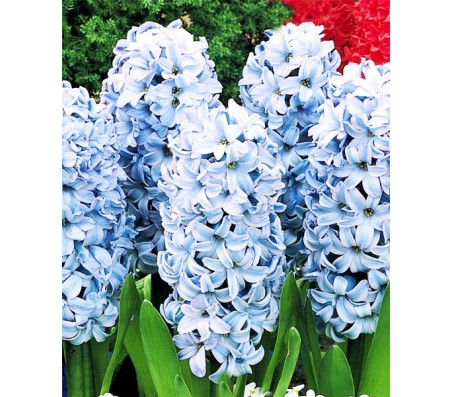 Hyacinthus Deft Blue/Light Blue 3 Bulbs